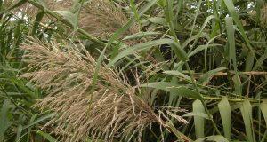 La Miscanthus gigante: la pianta che produce più energia del petrolio