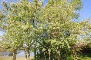 Ricette con i fiori di acacia ambiente bio for Acacia albero