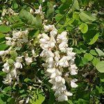 Ricette con i fiori di acacia