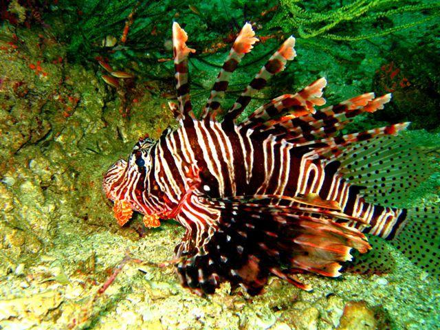 Il pesce leone e i cambiamenti climatici ambiente bio - Leone e scorpione a letto ...