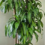 Dracaena Fragrans ossigeno 150x150 Le piante che danno ossigeno alla nostra casa