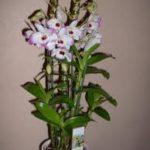 orchidea ossegeno dendrium 150x150 Le piante che danno ossigeno alla nostra casa
