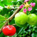 Acerola: potente integratore naturale di vitamina C