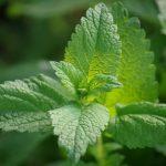 La melissa un rimedio naturale utile negli sbalzi ormonali