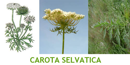 carota selvatica Erbe selvatiche commestibili