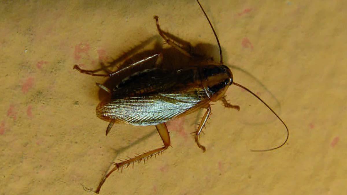 Piccoli Scarafaggi In Cucina scarafaggi in casa: come allontanarli con rimedi naturali