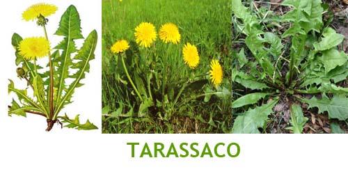 tarassaco Erbe selvatiche commestibili