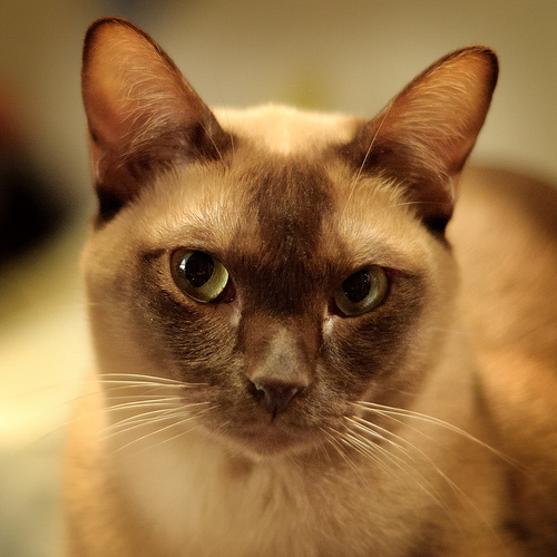 Come allontanare le pulci dai gatti in modo naturale e non for Allontanare i gatti