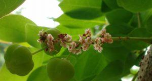 L'amla, uno dei frutti che compongono la Triphala ayurvedica