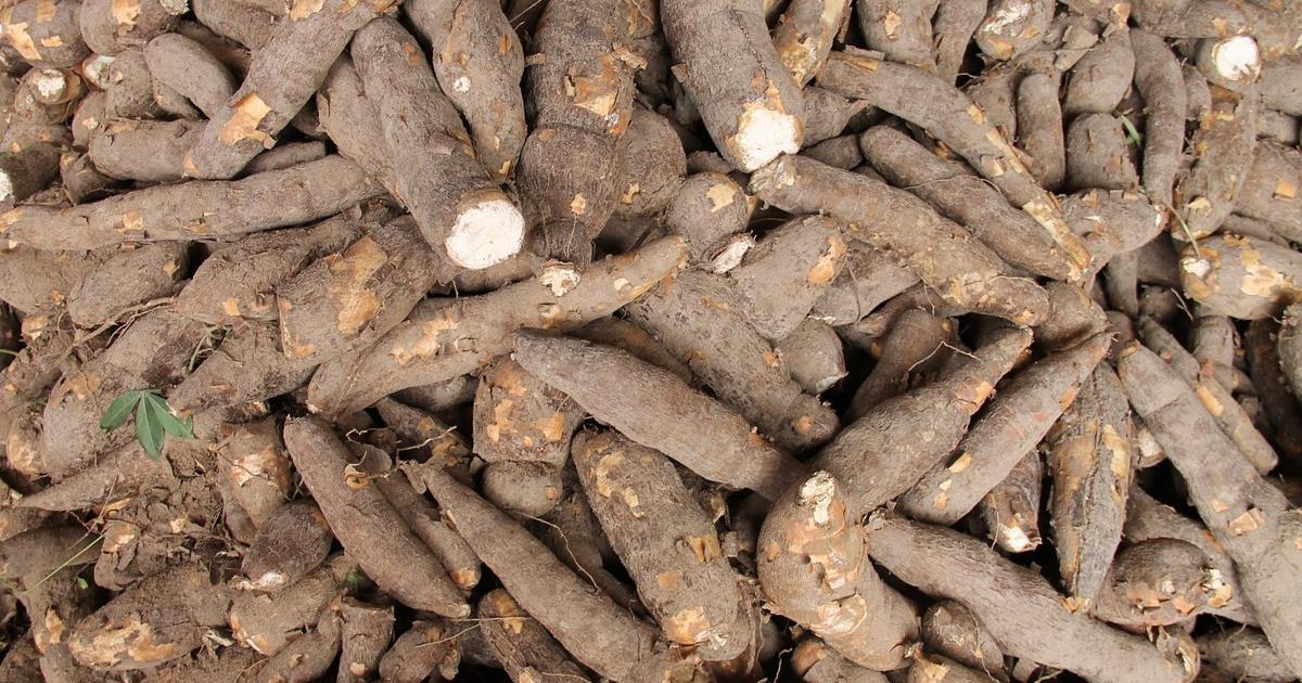 Manioca: la coltivazione sostenibile che salverà il pianeta