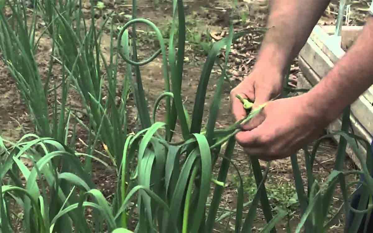 coltivare aglio in casa
