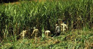 Zucchero amaro, quando l'industria alimentare sfrutta terra e lavoratori