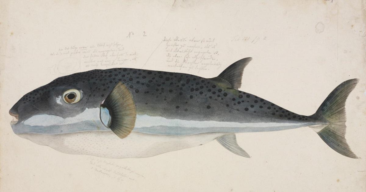 lagocephalus sceleratus, il pesce velenoso trovato nei mari italiani