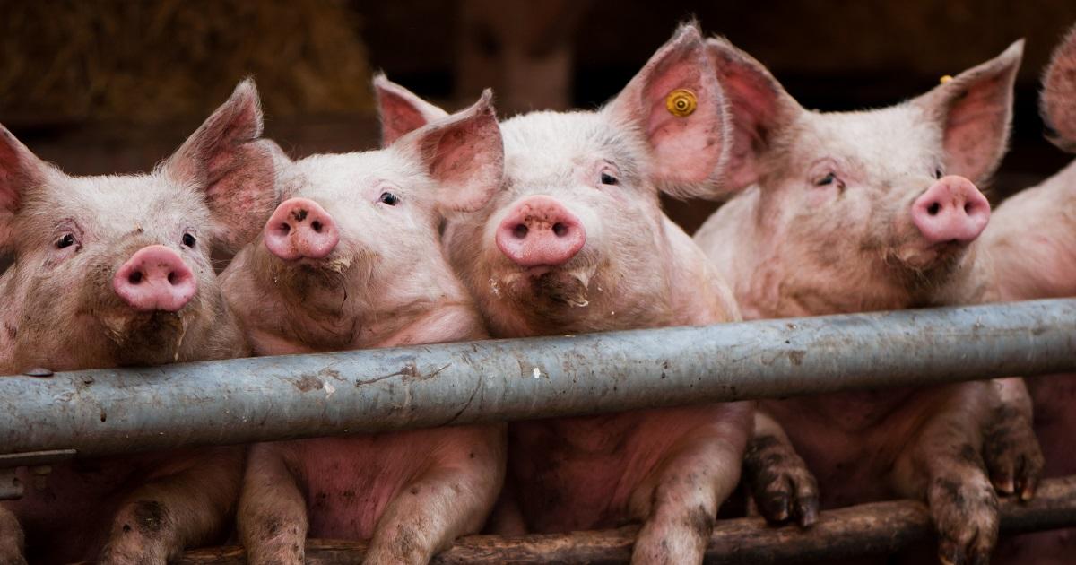 Cosa si nasconde dietro l'allevamento intensivo di maiali in Germania