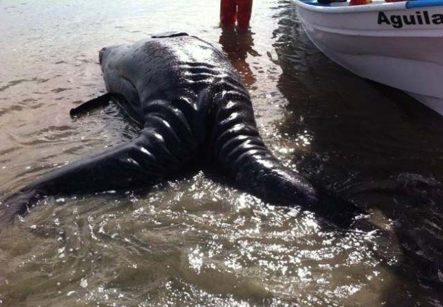 balena due teste