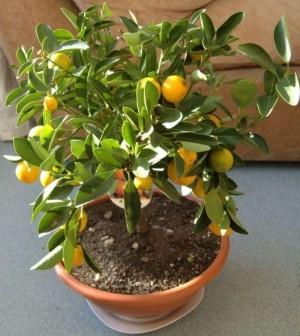 Come coltivare un frutteto in terrazzo quali piante for Piante da frutto vaso