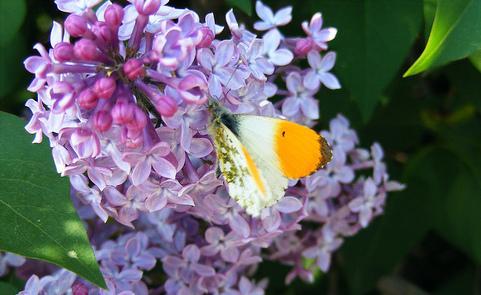 fiori di lilla