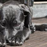 Malattie del cane: l'anemia, come riconoscerla e intervenire
