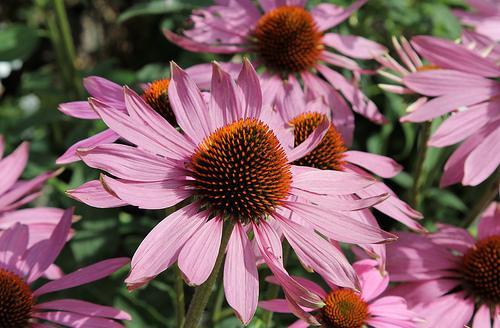 giardino medicinale, echinacea