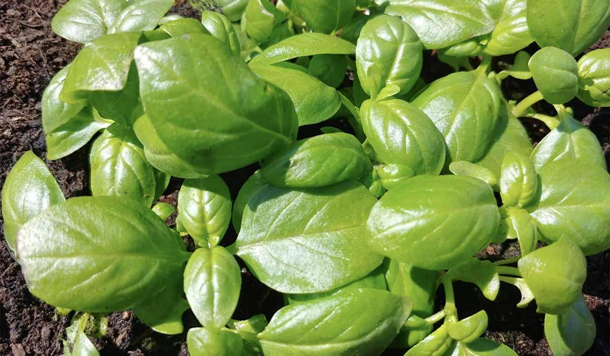 Coltivare In Casa Piante Aromatiche 9 piante aromatiche che crescono anche senza la terra