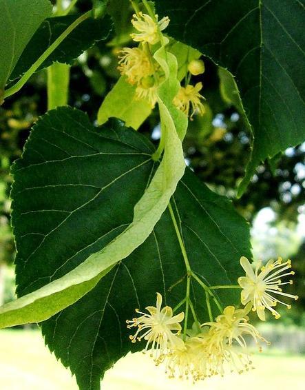 Tiglio propriet e preparazione dei rimedi naturali for Tiglio albero