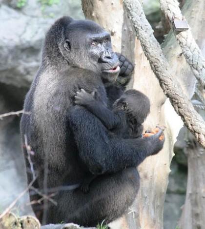 virunga_gorilla