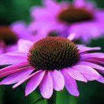 Echinacea: immunostimolante e antibiotico naturale