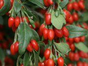 16 alimenti utili per l 39 equilibrio ormonale ambiente bio for Coltivazione goji in vaso