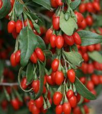 6 splendidi fiori da piantare in balcone in primavera for Coltivazione goji