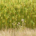 Le potenzialità della canapa in agricoltura sostenibile