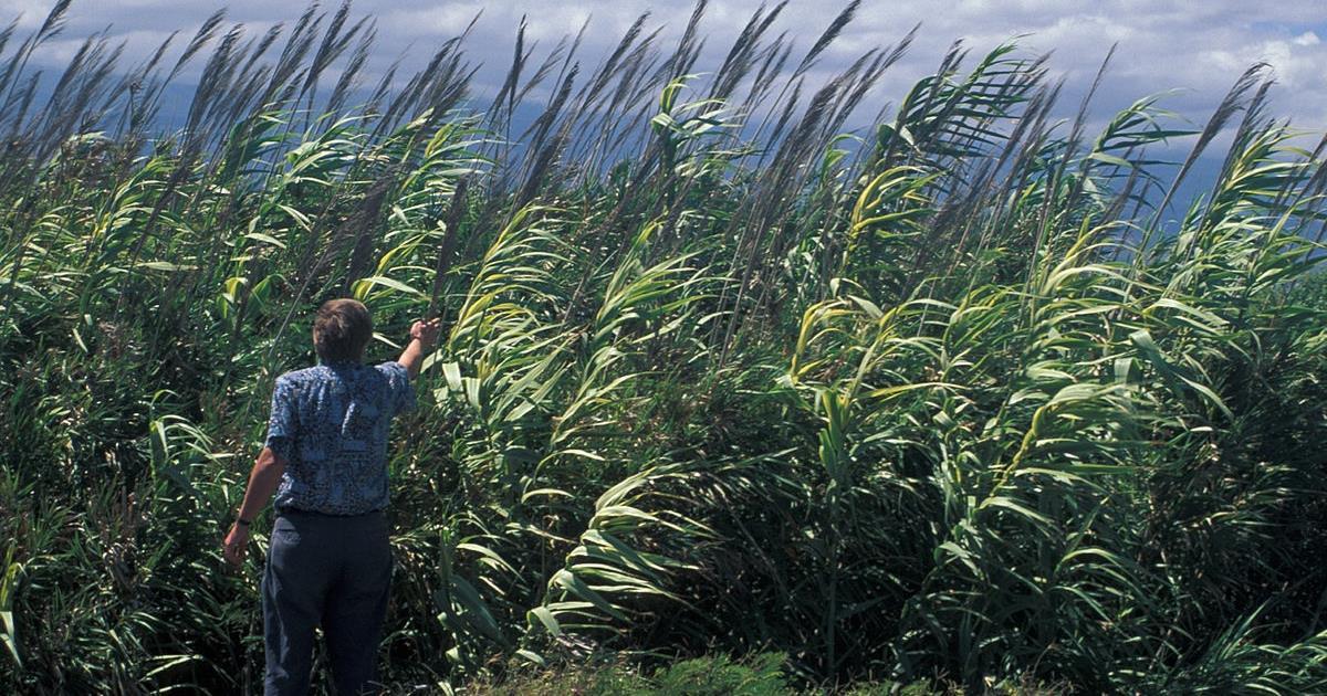 L'impiego della canna comune per la produzione di biomassa