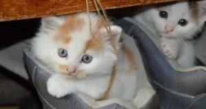 Come riconoscere l'avvelenamento del gatto