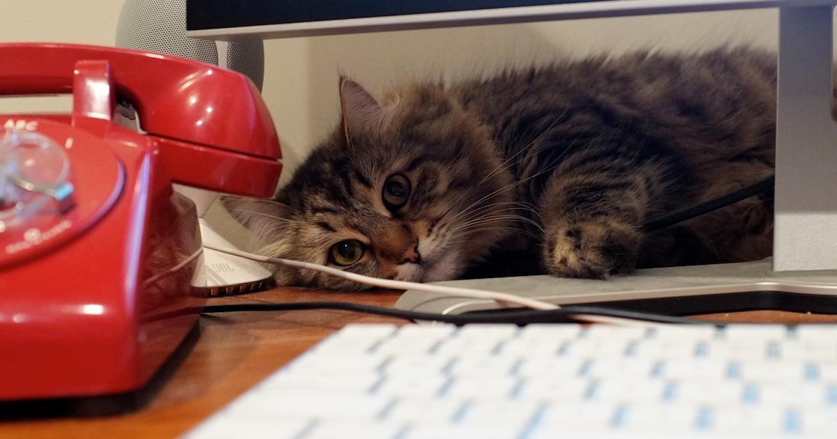 Gatti in ufficio: l'idea dal Giappone per ridurre lo stress