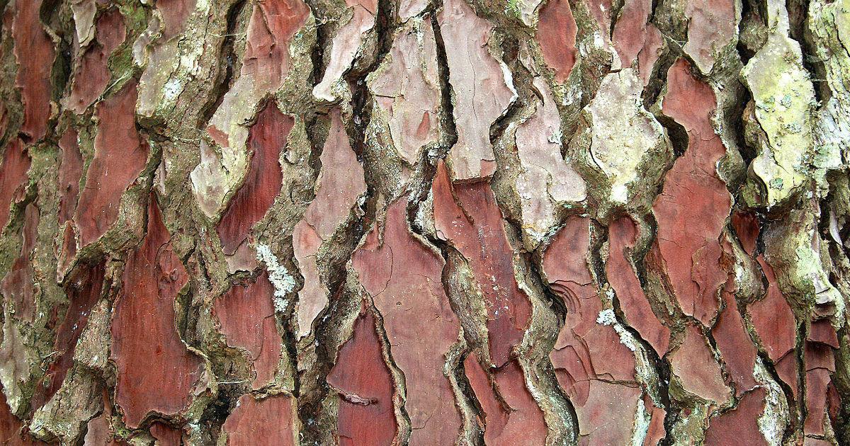 Pycnogenol: dagli alberi, un'alternativa naturale all'aspirina