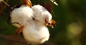 Il cotone biologico fa bene all'ambiente, lo studio