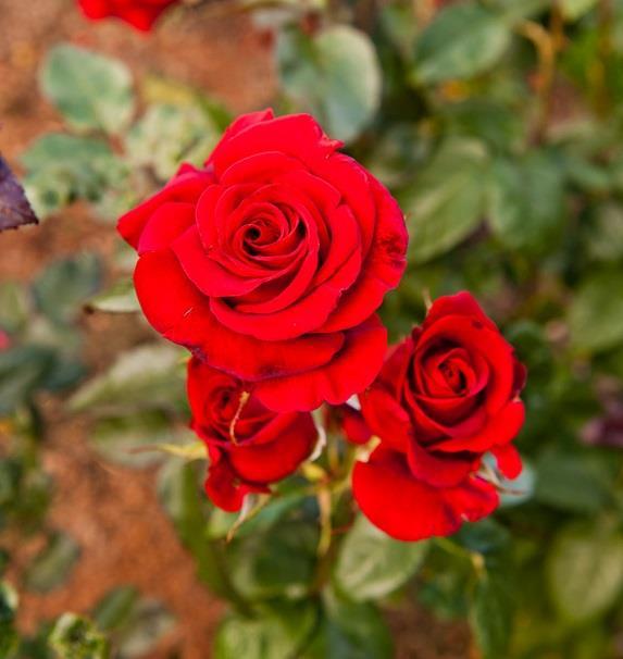 Potatura rose quando e come effettuarla for Potatura delle rose