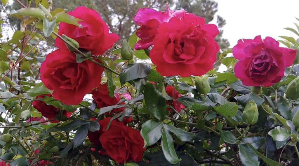 potatura delle rose rosse