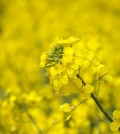 mustard crop flower against the yellow field