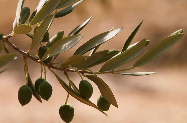 alberi ulivo_xylella