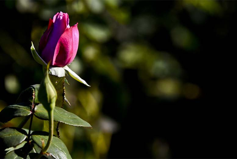 sali di epsom rose belle