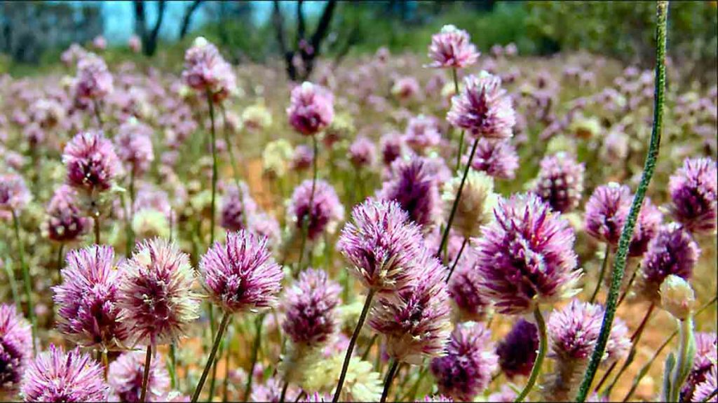 mulla mulla fiore antinfiammatorio