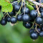 Ribes Nigrum: proprietà, usi e controindicazioni