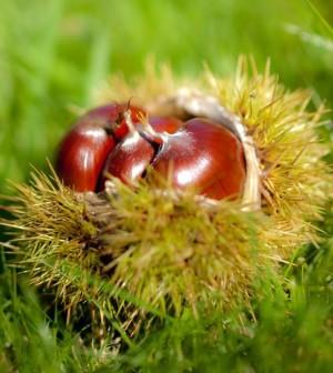 I preziosi doni dell 39 autunno propriet e benefici delle for Raccogliere castagne