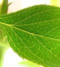 foglie_carenze piante
