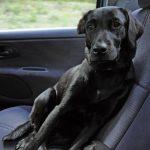 Mal d'auto nel cane: consigli e rimedi naturali per aiutare fido