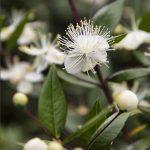Olio di mirto per combattere tosse e bronchite
