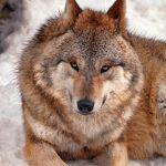 Vergogne italiane: pronto un piano per abbattere lupi e cani randagi
