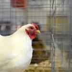 Le verità nascoste degli allevamenti intensivi di polli in Italia