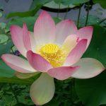Come coltivare il fiore di loto in vaso