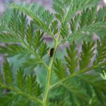Artemisia: la pianta che combatte il cancro